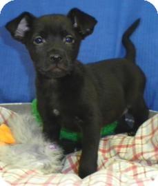Labrador Retriever/Terrier (Unknown Type, Small) Mix Puppy for adoption in Lincolnton, North Carolina - Starr