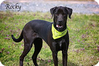 Great Dane/Labrador Retriever Mix Dog for adoption in Albany, New York - Rocky