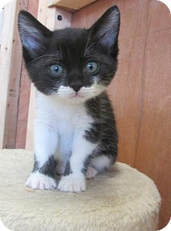 Domestic Shorthair Kitten for adoption in Mobile, Alabama - Susie Q