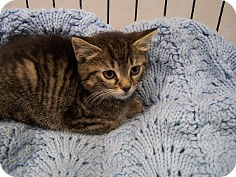 Domestic Shorthair Kitten for adoption in Jersey City, New Jersey - Justine