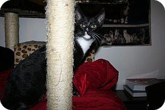 Domestic Shorthair Kitten for adoption in Santa Rosa, California - Cricket