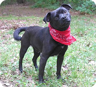 Pug/Terrier (Unknown Type, Small) Mix Dog for adoption in Mocksville, North Carolina - Brady