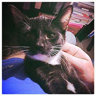 Domestic Shorthair Kitten for adoption in Toledo, Ohio - Valor