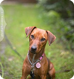 Dachshund/Terrier (Unknown Type, Small) Mix Dog for adoption in Rigaud, Quebec - Mabel