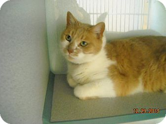 Domestic Shorthair Cat for adoption in Grants, New Mexico - Tiger