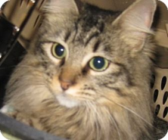 Maine Coon Cat for adoption in Dallas, Texas - Miss Kitty