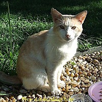 American Shorthair Cat for adoption in Eubank, Kentucky - Gabby