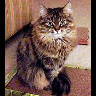 Domestic Mediumhair Cat for adoption in Arlington, Virginia - Murissa