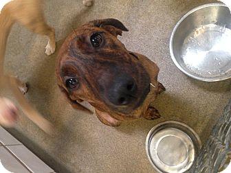Plott Hound Mix Puppy for adoption in Boca Raton, Florida - Tinker