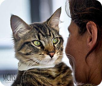 Domestic Mediumhair Kitten for adoption in Martinsville, Indiana - Teddy