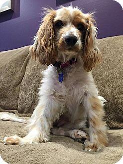 Cocker Spaniel Mix Dog for adoption in Santa Barbara, California - Nina