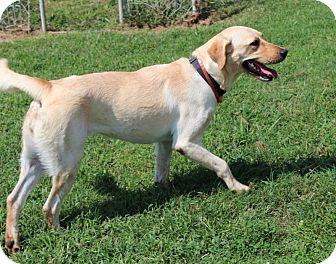 Labrador Retriever Dog for adoption in Harmony, Glocester, Rhode Island - Cheddar