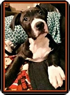 American Pit Bull Terrier Puppy for adoption in Rancho Cucamonga, California - Rowdy