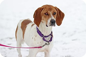 Coonhound (Unknown Type) Mix Dog for adoption in Midland, Michigan - Tess - foster care