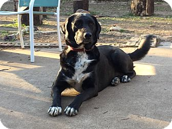 Labrador Retriever/Great Dane Mix Dog for adoption in Fort Worth, Texas - MOLLY