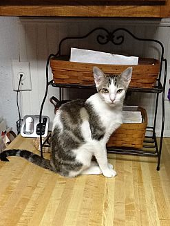 Domestic Shorthair Kitten for adoption in Houston, Texas - Liam