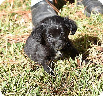 Chihuahua/Pekingese Mix Puppy for adoption in South Dennis, Massachusetts - Blake
