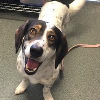 Adopt A Pet :: Harley - Mt Pleasant, MI
