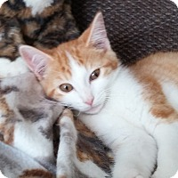 Abyssinian Kitten for adoption in Taylor Mill, Kentucky - Isaac-Champion Snuggler