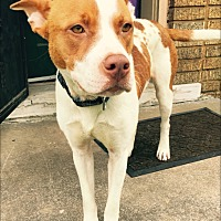 Adopt A Pet :: Cleo meet me 9/8 - East Hartford, CT