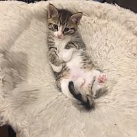Adopt A Pet :: Cleo - Madison, NJ