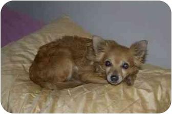 Chihuahua Mix Dog for adoption in Inman, South Carolina - Lucy Liu