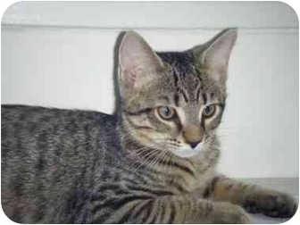 Domestic Shorthair Cat for adoption in Kensington, Maryland - Rocky