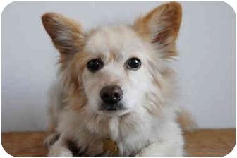 Sheltie, Shetland Sheepdog/Australian Shepherd Mix Dog for adoption in Los Angeles, California - Cassidy