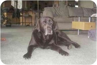Labrador Retriever Dog for adoption in Muldrow, Oklahoma - Nally