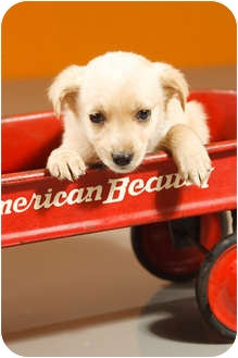 Jack Russell Terrier/Spaniel (Unknown Type) Mix Puppy for adoption in Portland, Oregon - Bosco