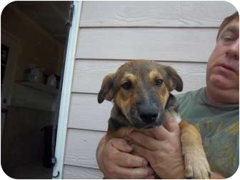 Shepherd (Unknown Type) Mix Puppy for adoption in Westminster, Colorado - JayJay