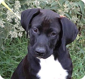 Labrador Retriever/Great Dane Mix Puppy for adoption in Westport, Connecticut - *Tank - PENDING