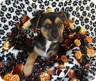 Patterdale Terrier (Fell Terrier)/Jack Russell Terrier Mix Puppy for adoption in Thomasville, North Carolina - Trouble