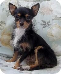 Chihuahua Mix Dog for adoption in AUSTIN, Texas - SADIE