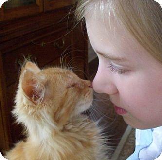 Domestic Shorthair Kitten for adoption in Huntsville, Alabama - Maui