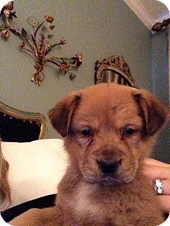 Golden Retriever/Shepherd (Unknown Type) Mix Puppy for adoption in Waterbury, Connecticut - MILLY