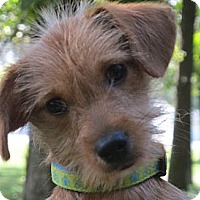 Adopt A Pet :: Snickerdoodle - Windham, NH