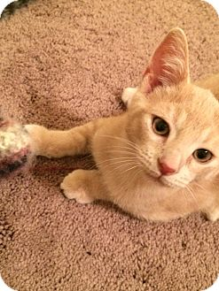 Domestic Shorthair Kitten for adoption in Chesterfield Township, Michigan - Rosco