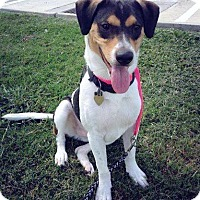 Foxhound Mix Dog for adoption in Beaumont, Texas - Jessie