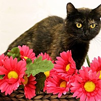 Domestic Shorthair Cat for adoption in Owenboro, Kentucky - ATESSA!