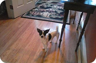 Chihuahua Mix Dog for adoption in oxford, New Jersey - Buddy