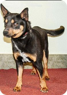 Terrier (Unknown Type, Medium) Mix Dog for adoption in Ada, Oklahoma - LEVI