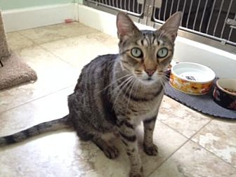 Domestic Shorthair Cat for adoption in West Palm Beach, Florida - Angel