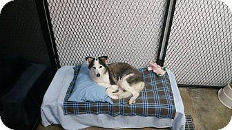 Australian Shepherd/Husky Mix Dog for adoption in Port Clinton, Ohio - DIXIE