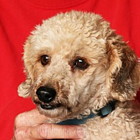 Poodle (Miniature)/Terrier (Unknown Type, Small) Mix Dog for adoption in Palmdale, California - Mr. Bean