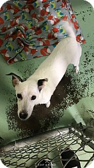 Jack Russell Terrier Mix Dog for adoption in Gadsden, Alabama - Sophie