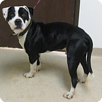 Adopt A Pet :: Diesel - Gary, IN