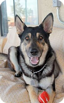 German Shepherd Dog/Husky Mix Dog for adoption in Las Vegas, Nevada - Stash