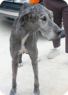 Great Dane Dog for adoption in Pipe Creed, Texas - Karli