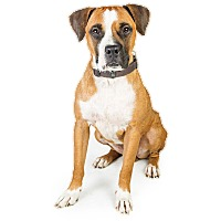 Adopt A Pet :: Kellen - Scottsdale, AZ